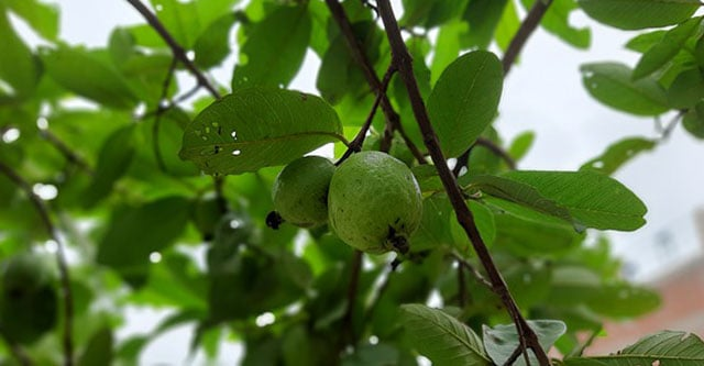 Eating limit of guava in diabetes
