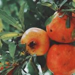 Pomegranate Glycemic Index- Is it safe for Diabetes