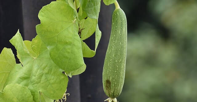 How to get the best and fresh Ridge gourd