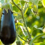 What is Brinjal (Baingan, Eggplant)? 7 Proven Health Benefits